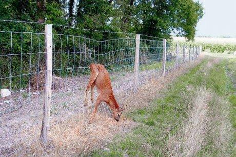 chevreuil pris dans une clôture